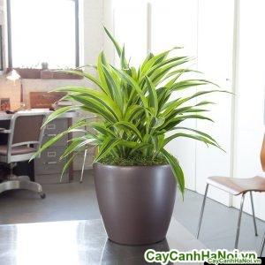 Cây đại tứ lan chậu tròn thấp lemon-lime-plant-nyc_1024x1024