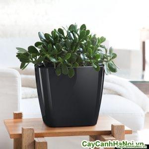 Cây Ngọc Bích chậu vuông thấp jade-plant-classico-white_1024x1024