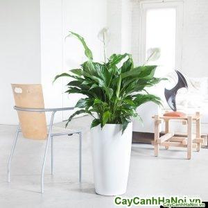 Cây lan ý chậu tròn cao peace-lily-rondo-white_1024x1024