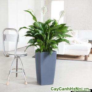 Cây lan ý chậu vuông cao peace-lily-cubico-grey_1024x1024