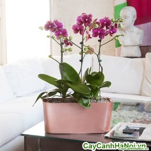 Hoa lan hồ điệp chấm hồng_pink-variegated-orchids_1024x1024