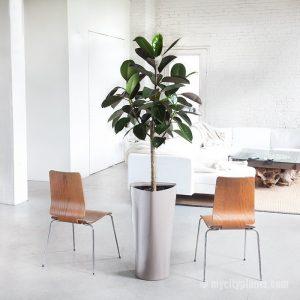 cây đa búp đỏ chậu tam giác rubber-plant-triangle-taupe_1024x1024