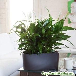cây lan ý chậu bầu dục peace-lily-windowsill_75ab18e3-a7d4-4c19-8c73-bd64425e4017_grande