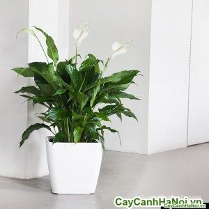 cây lan ý chậu vuông thấp 14 peace-lily-quadro-white_1024x1024