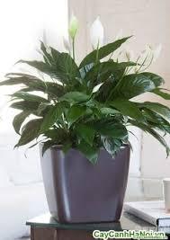 Hoa lan ý chậu vuông thấp