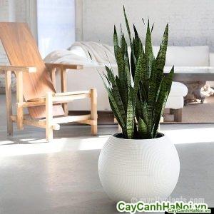 snake-plant-in-white-puro-palnter.jpg_grande