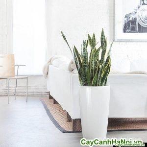 snake-plant-rondo-white_grande