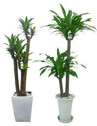 so sánh giữa hai cây chậu tròn thấp và chậu tròn cao
